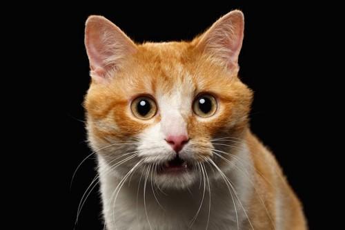 口を半開きにして固まる猫の顔アップ