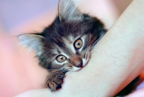 飼い主の腕を甘噛みする子猫