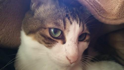 毛布の中でくつろぐ猫
