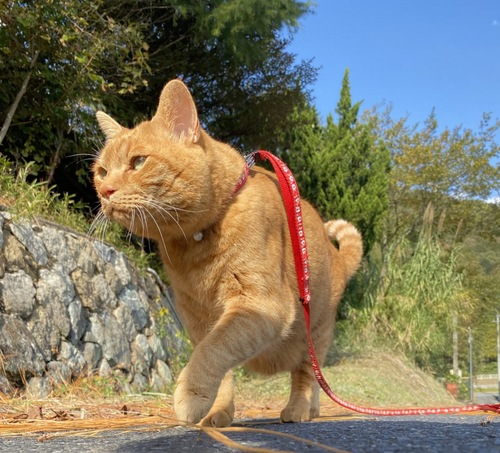 散歩する茶トラ猫