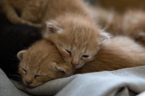 折り重なって眠る2匹の子猫