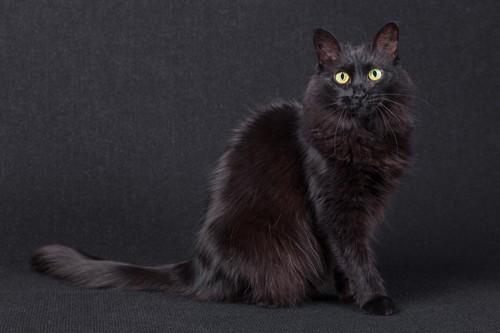 黒猫のターキッシュアンゴラ