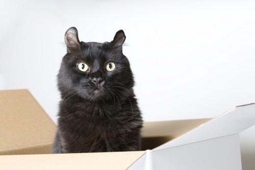 箱に入った黒いアメリカンカール