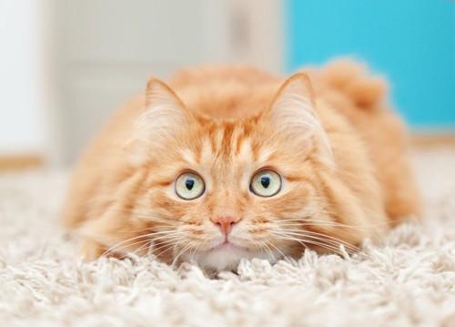 うつ伏せの猫