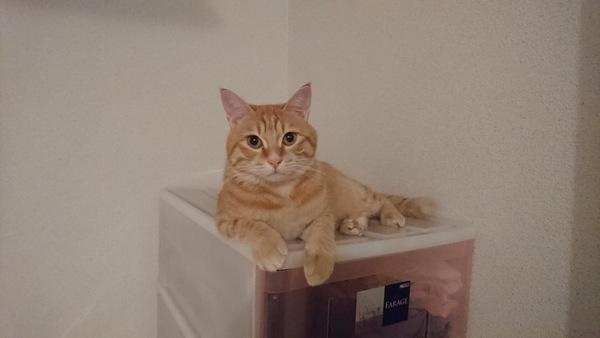衣装ケースの上にいる猫