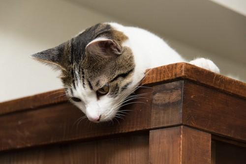 タンスの上から覗く猫