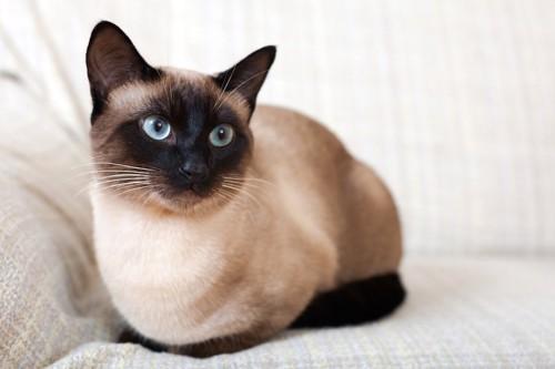 ソファーでくつろぐシャム猫