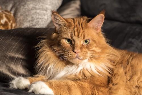 凛々しい表情の長毛猫