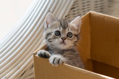 ダンボールに入った仔猫