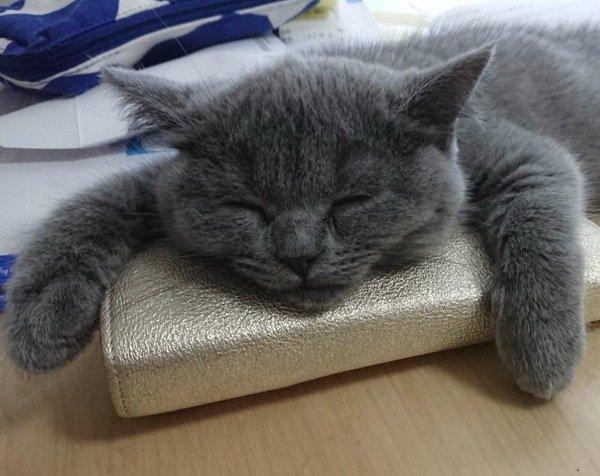 財布を抱えるように寝ているブルーのブリティッシュショートヘアの子猫