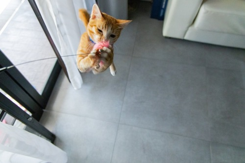 猫じゃらしにジャンプする猫