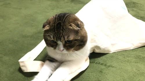 袋の中に入る猫