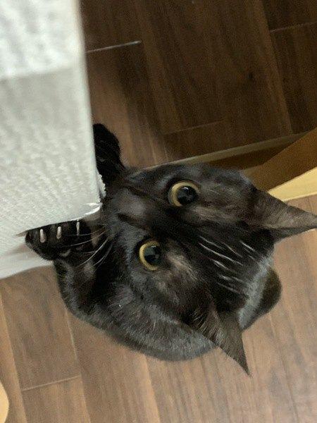 ココ / ♀/ 1歳/ 黒猫/ 3.6kg