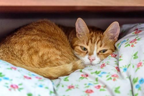 押し入れの布団の上で眠る猫
