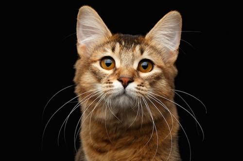 大きな瞳の猫の顔アップ