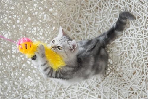 猫じゃらしに飛びついたアメショーの子猫