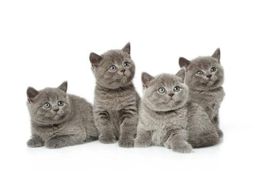 同じ方向を見つめる4匹のブリティッシュショートヘアの子猫