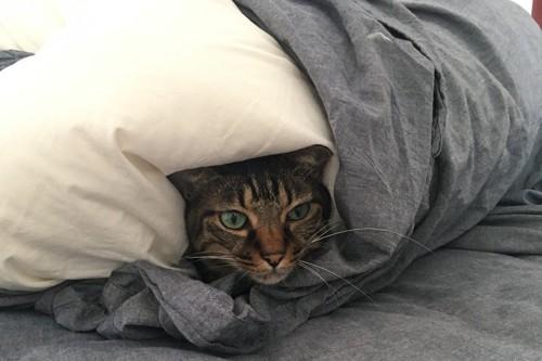 布団を被る猫