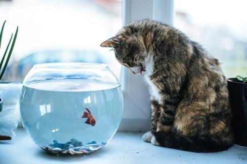 金魚鉢の中の金魚を見つめる猫