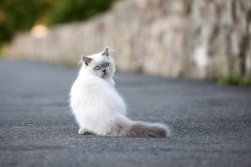 後ろ向きに振り返っている猫