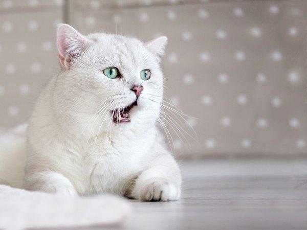 あくび寸前の白猫