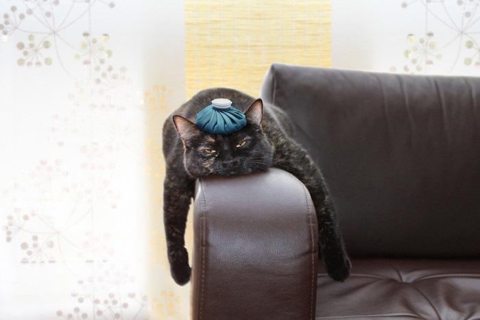 頭に氷枕を乗せる猫の写真