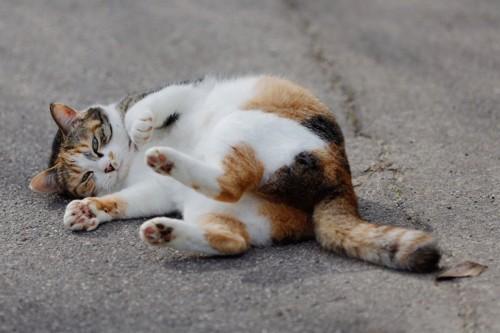 寝転がる三毛猫