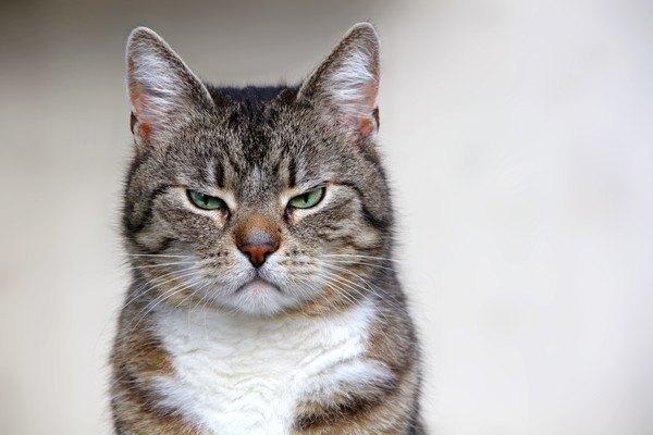 イライラ顔の猫