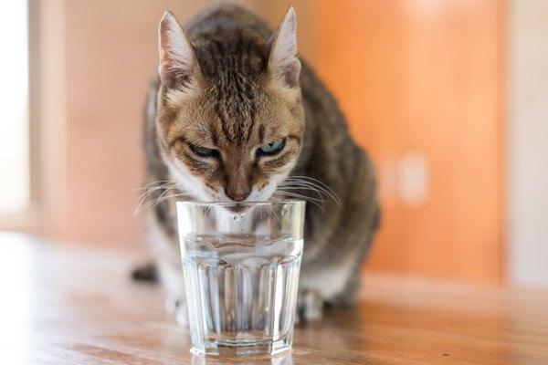 ガラスのコップの水を飲む猫