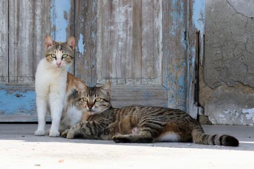 藍島で横たわっている猫