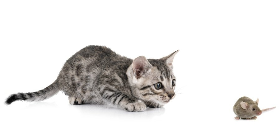 鼠を狙う子猫
