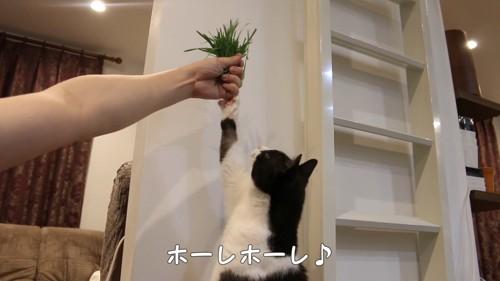 猫草に前足を伸ばす猫