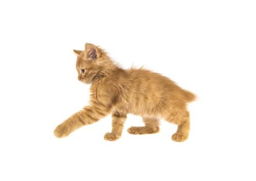 何かにじゃれようとしているアメリカンボブテイルの子猫