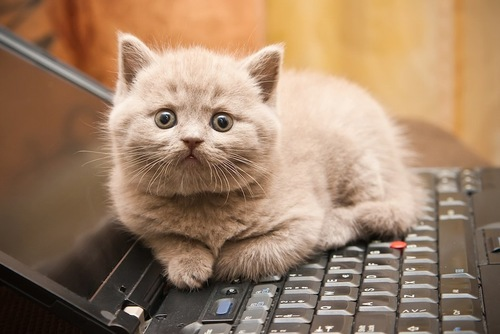 パソコンの上でくつろぐ子猫