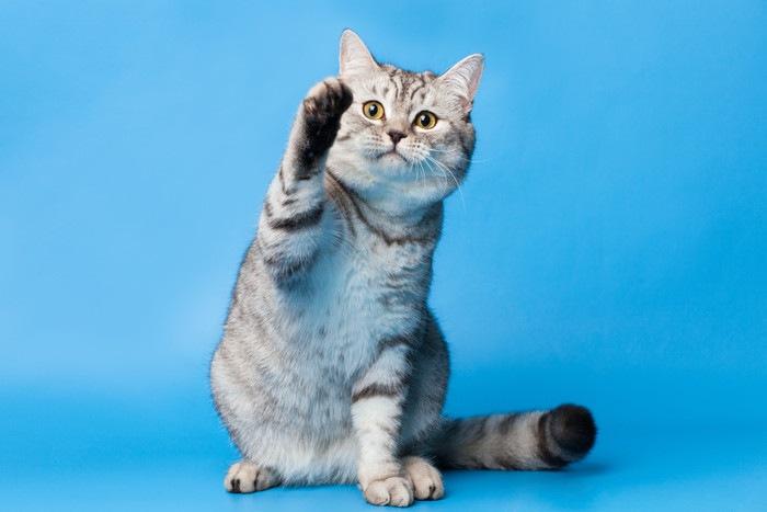 片足を上げている猫の写真