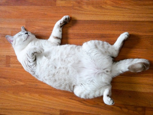 ヘソ天で眠る白猫