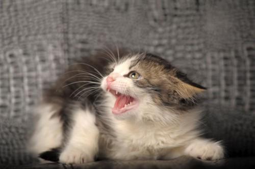 耳を伏せて威嚇するキジトラ白の子猫