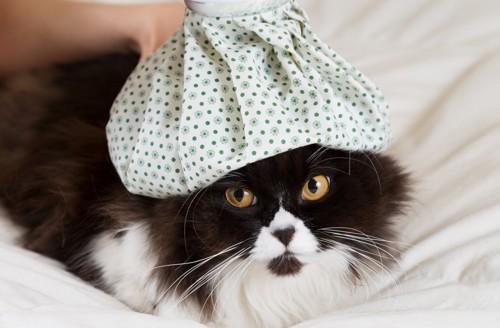 頭に氷嚢を乗せられた猫