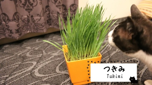 鉢植えの猫草と猫
