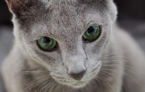 ロシアンブルーの緑の目