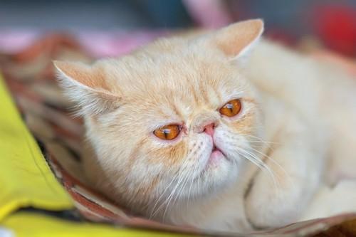 ちょっぴり目つきの悪い眠そうなエキゾチックショートヘアの子猫
