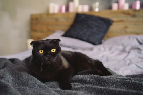 ベッドに座る黒いスコティッシュフォールド