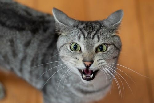 こちらを見上げて口を開ける猫