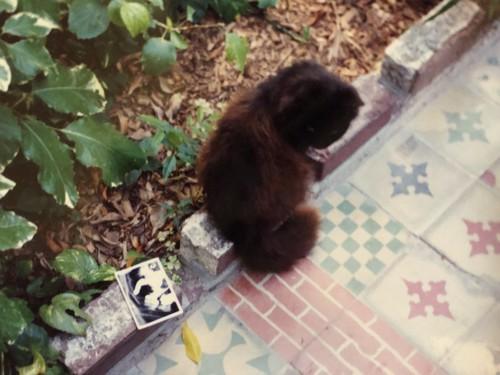 花壇にいる長毛のヘミングウェイキャット