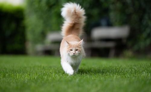 尻尾を掲げてこちらに来る猫