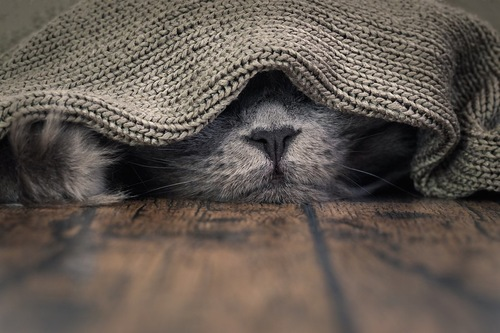 ブランケットをかぶって眠る猫