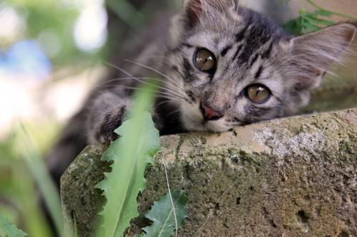 ブロック石の上でリラックスするサバトラ