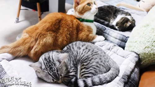 寝る縞模様の猫
