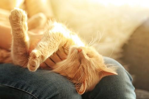 人の膝の上で眠る猫