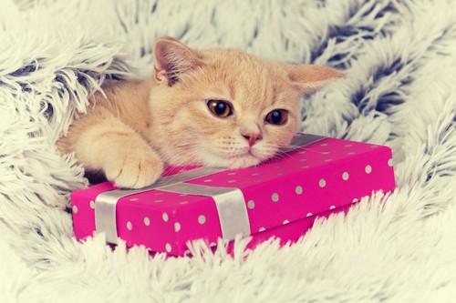 プレゼントボックスに乗る猫